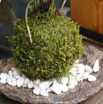山アジサイの苔玉