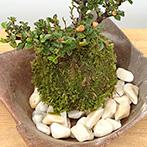 ベニシタン苔玉