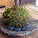 モミジ(青しだれ)苔玉