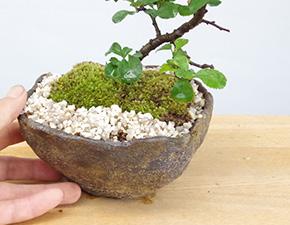 長寿梅の寄せ植え盆栽