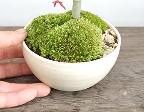 モミジの盆栽