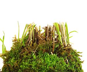 風知草の苔玉