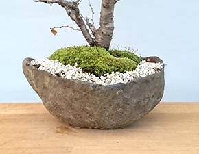 桜(湖上の舞)の盆栽