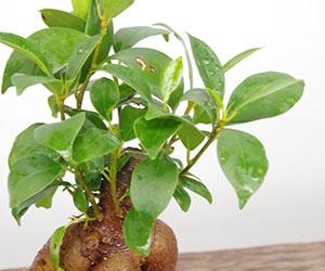 ガジュマルの鉢植え