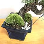 五葉松の盆栽