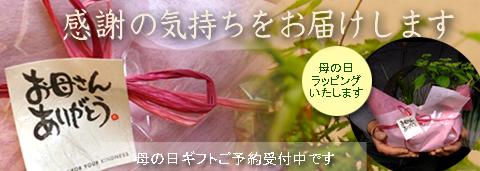 春ににおすすめ盆栽 苔玉