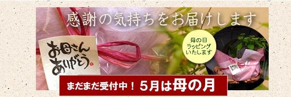 母の日ギフトにおすすめ盆栽 苔玉