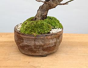 白梅の盆栽