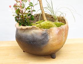 ハウチワカエデの盆栽