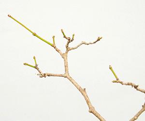 モミジ(ハウチワカエデ)の苔玉