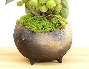 姫リンゴの盆栽