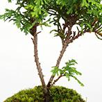 ヒノキの盆栽