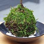 百両の苔玉