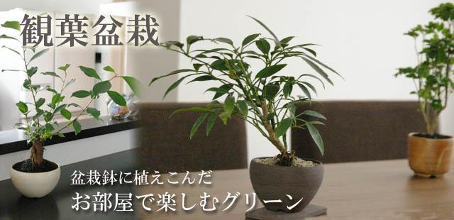 観葉盆栽 イメージ