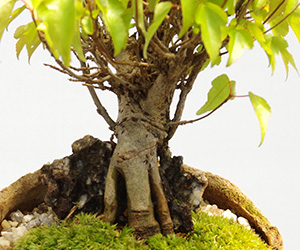 カエデの盆栽・炭化焼き締め鉢