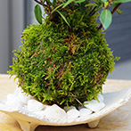 カロライナジャスミンの苔玉