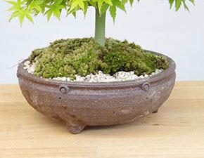 鹿島モミジの盆栽
