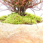 南天の盆栽