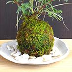 こでまりの苔玉