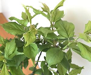紅梅の盆栽