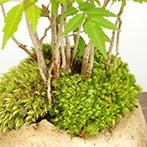 ハゼの盆栽