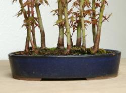山モミジの盆栽・信楽焼鉢