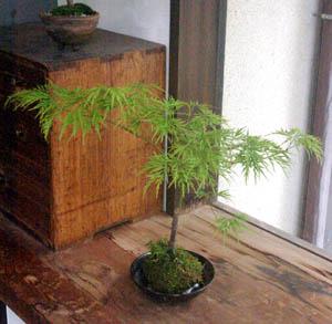 モミジ(青しだれ)の苔玉