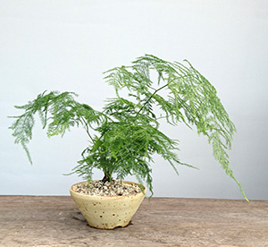 アスパラガスの鉢植え