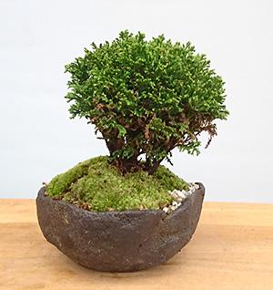 ツクモヒバ盆栽