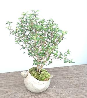 香丁木の盆栽