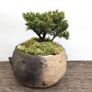 エゾ松の盆栽