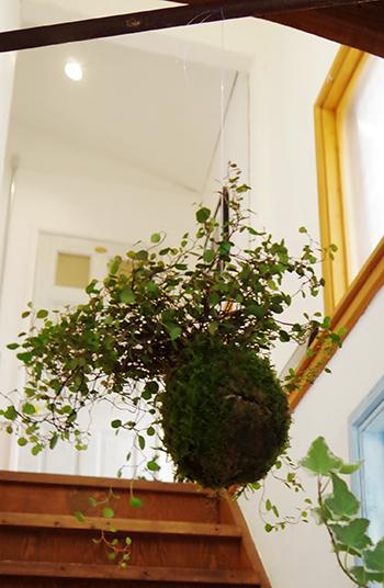 ワイアープランツの吊り苔玉