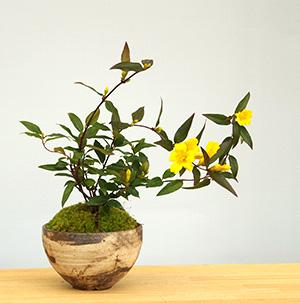カロライナジャスミンの盆栽
