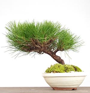 黒松の盆栽