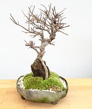 ニレケヤキの盆栽・炭化焼き締め鉢