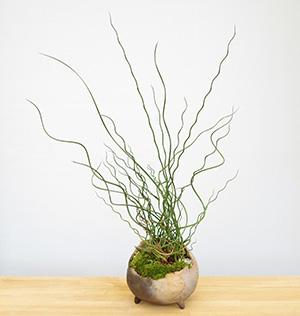 ラセンイの盆栽