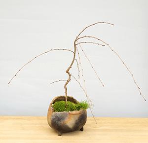 枝垂桜の寄せ植え盆栽