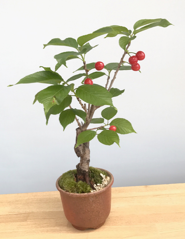 桜(旭山桜)の盆栽