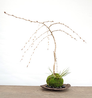 枝垂桜の苔玉