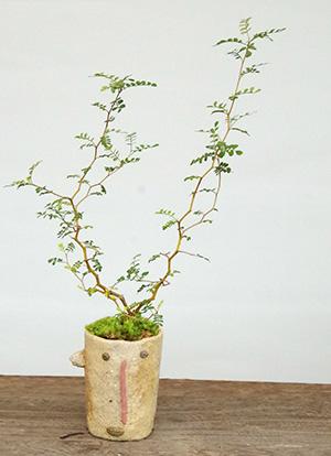 ソフォラミクロフィラの盆栽