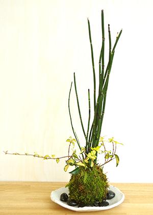 トクサ・テイカカズラの苔玉