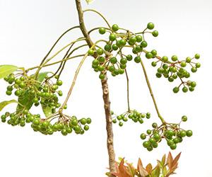 万両の盆栽