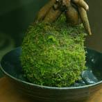 ガジュマルの苔玉