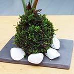 テーブルヤシミニ苔玉
