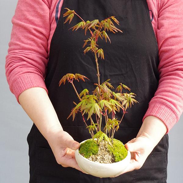 山モミジ盆栽