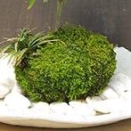 モミジの苔玉