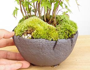モミジ(清姫)の盆栽・炭化焼き締め鉢