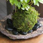 ムラサキシキブの苔玉
