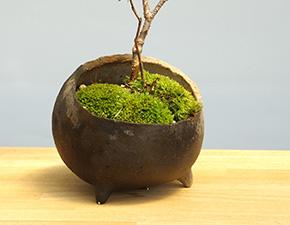 ナナカマドの盆栽