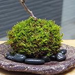 ナナカマドの苔玉